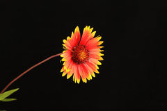 Indian Blanket on Black Background Royalty Free Stock Images