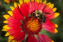 Indian Blanket Flower with a Bumble Bee. The bumble bee feeds on an Indian Blanket flower, Gaillardia pulchella, while enjoying the warm summer sun stock image