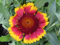Indian Blanket Flower Closeup. An annual plant in my garden, Gaillardia pulcella also known as Indian blanket and firewheel Stock Image