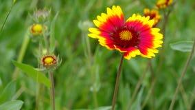 Indian blanket flower in the garden stock video