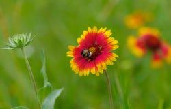 Indian blanket flower having bumblebee guest Stock Photos
