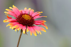 Indian blanket flower Royalty Free Stock Image