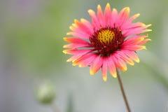 Indian blanket flower Stock Photos