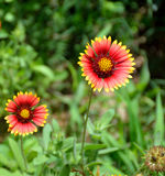 Indian blanket flower  Stock Image