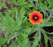 Indian blanket flower plant Royalty Free Stock Photography
