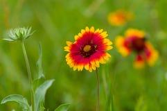 Indian blanket flower in summer garden Stock Photography