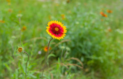 Indian blanket flower in summer garden Royalty Free Stock Image
