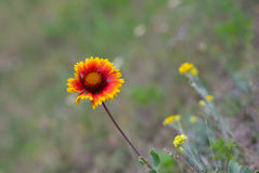 Indian blanket flower in wild field Royalty Free Stock Photos
