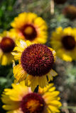 Indian blanket flower Royalty Free Stock Images