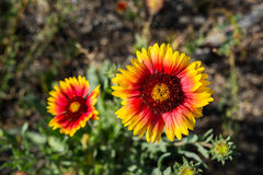 Indian blanket flower Stock Photo