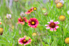 Indian Blanket flowers Stock Photography