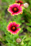 Indian Blanket flowers. ( gaillardia pulchella ) are shown at full stage of maturity Royalty Free Stock Photo