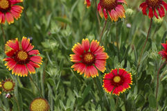 Indian Blanket Flowers (Gaillardia pulchella) Royalty Free Stock Photography