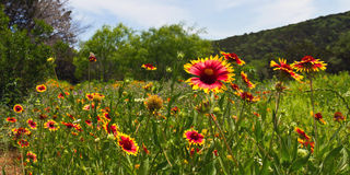 Indian blanket flowers running riot Royalty Free Stock Photos