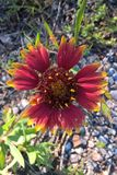 Indian Blanket Royalty Free Stock Images