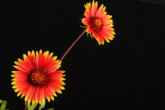 Indian Blanket (Gaillardia pulchella) Stock Image