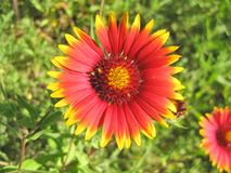 Indian Blanket Gaillardia pulchella Wildflowers stock image