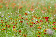 Indian Blanket and Painbrush Wildflowers Royalty Free Stock Photo