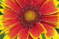 Indian Blanket with Raindrops Royalty Free Stock Photo