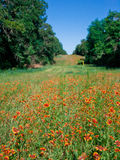 Indian Blanket Wildflowers Meadow. A long field in the middle of trees blanketed with Texas wildflowers Stock Image