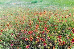 Indian Blanket Wildflowers in Texas Royalty Free Stock Photos