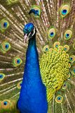 Indian Blue Peacock Royalty Free Stock Images