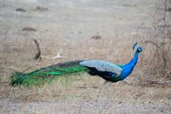 Indian Blue Peacock Royalty Free Stock Photography