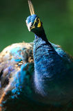 Indian Blue Peacock royalty free stock image