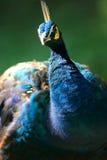 Indian Blue Peacock. An Indian Blue Peacock closeup Royalty Free Stock Image