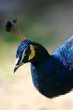 Indian Blue Peacock. An Indian Blue Peacock closeup Stock Image