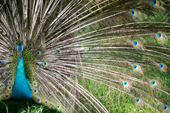 Indian Blue Peacock. An Indian Blue Peacock in courtship Stock Photography