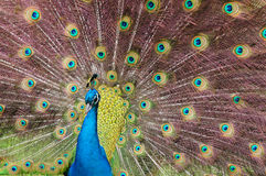 Indian Blue Peacock. (Pavo cristatus Stock Photos