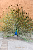 Indian Blue Peacock Display Stock Images