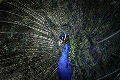 Indian blue peacock. A male peacock showing it`s feather to attract a female Royalty Free Stock Images