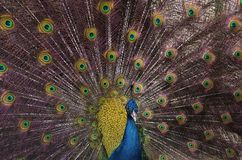 Indian blue peacock with spread feathers. Closeup of Indian blue peacock with spread feathers Royalty Free Stock Photo