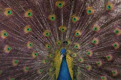 Indian blue peacock with spread feathers. Closeup of Indian blue peacock with spread feathers Royalty Free Stock Image
