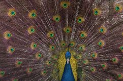 Indian blue peacock with spread feathers. Closeup of Indian blue peacock with spread feathers Stock Photography