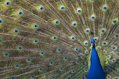 Indian or blue peafowl Royalty Free Stock Photos