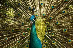 Indian Blue Peafowl. Close-up Royalty Free Stock Image