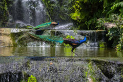 Indian blue peafowl Royalty Free Stock Image