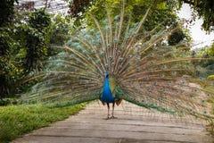 Indian blue peafowl Stock Photo