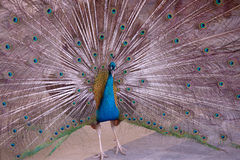 Indian Blue Peafowl Stock Photography