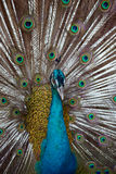 Indian Blue Peafowl Royalty Free Stock Photography