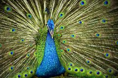 Indian Blue Peafowl Royalty Free Stock Images