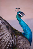 Indian Blue Peafowl Stock Images