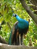 Indian or blue ribbon peacock Stock Photos