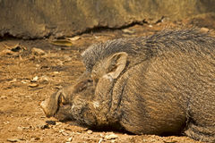 Indian Boar Stock Images