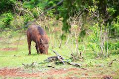 Indian boar or Sus scrofa cristatus royalty free stock photos