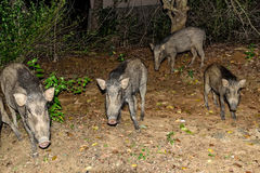 Indian boar or Sus scrofa cristatus Royalty Free Stock Photography