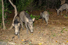 Indian boar or Sus scrofa cristatus royalty free stock photo